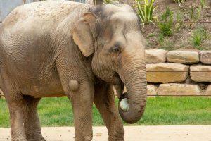 Saigon the Elephant